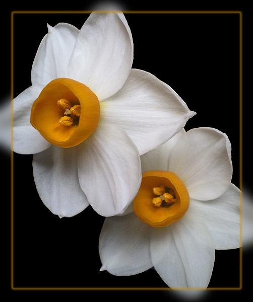 narcissus tazetta by CarolG