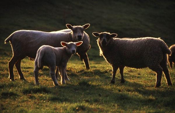 Ram,Lamb,Ewe by rogerwd