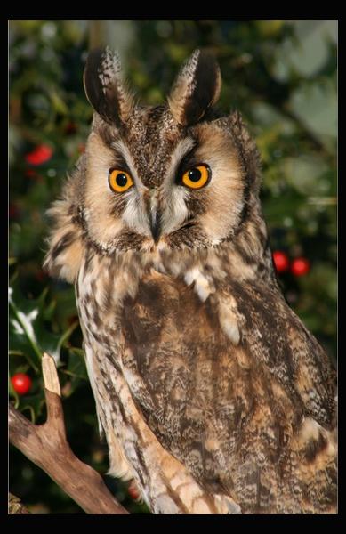 Long Eared Owl by ABiggs