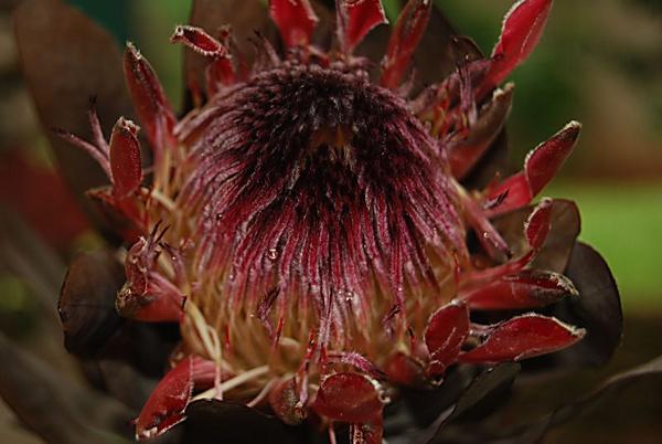 Protea by Lindaephotozine