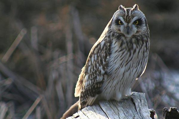 Short Earred Owl by canadamon
