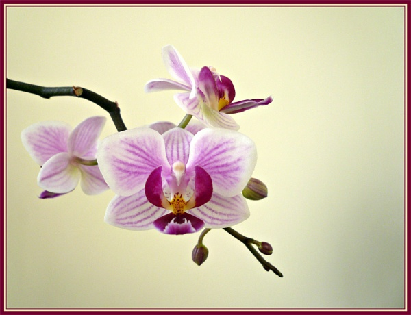 Orchid Pink by sandrish