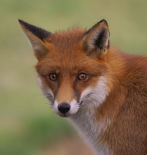 the fox by clintnewsham