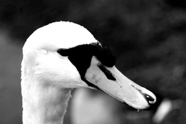 swan B&W by tig124