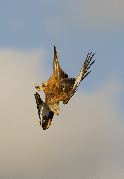 Red kite in dive by pronature