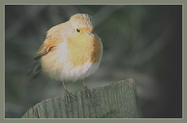 Robin by Norfolkboy