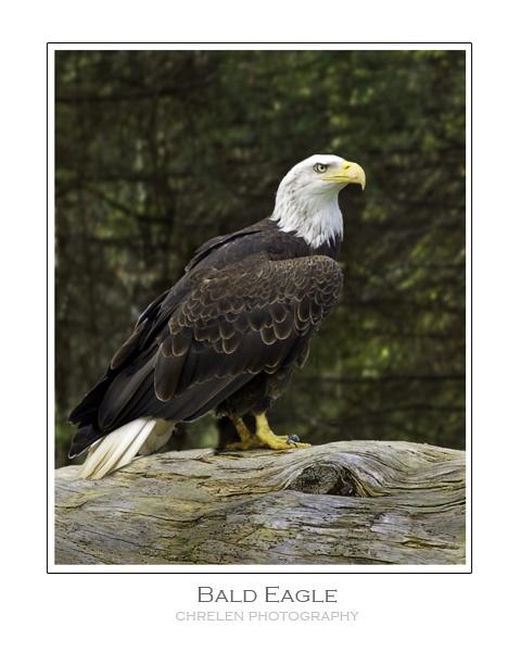 Bald Eagle by carbonbianchi