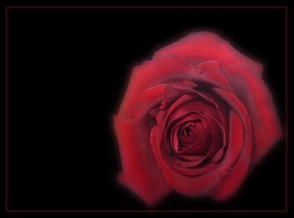 Mother\'s rose by CarolG