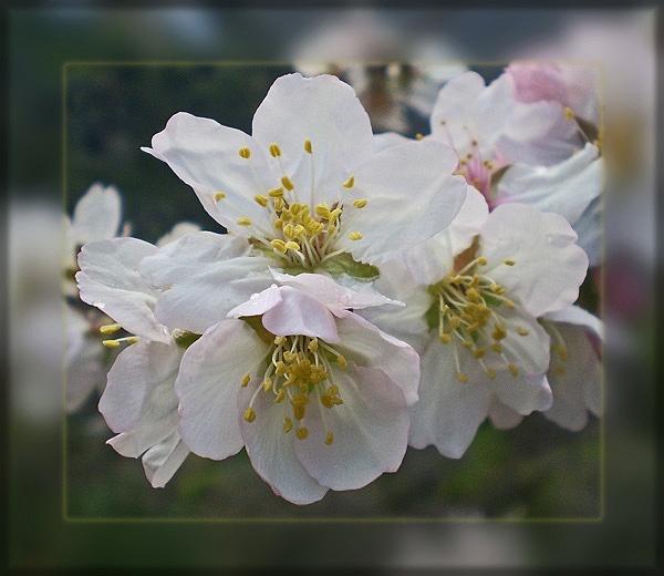 spring blossom by CarolG