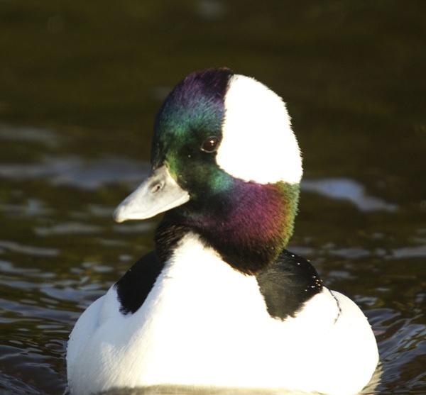 another duck by peterhookwilde