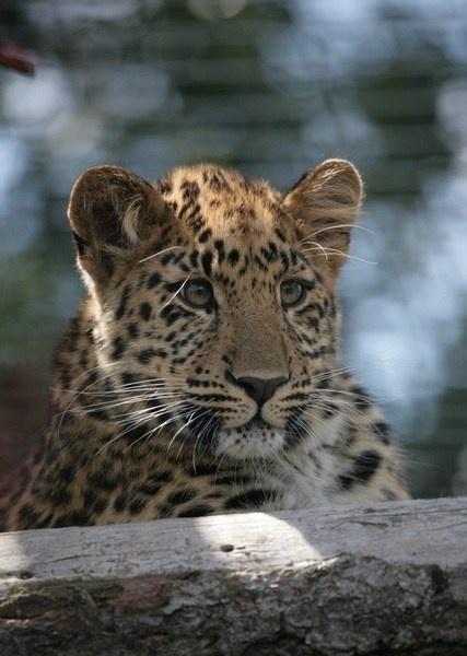 Amur Leopard by briberyb