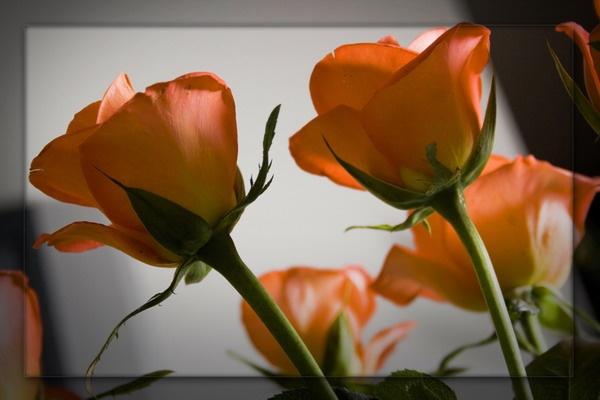 Roses by olesyak