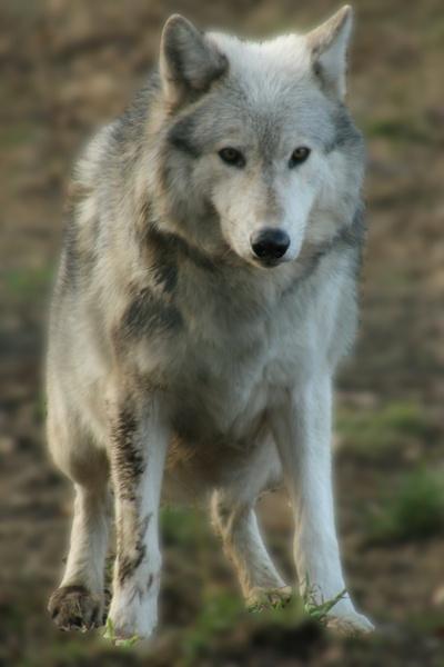 Wolf by wheresjp