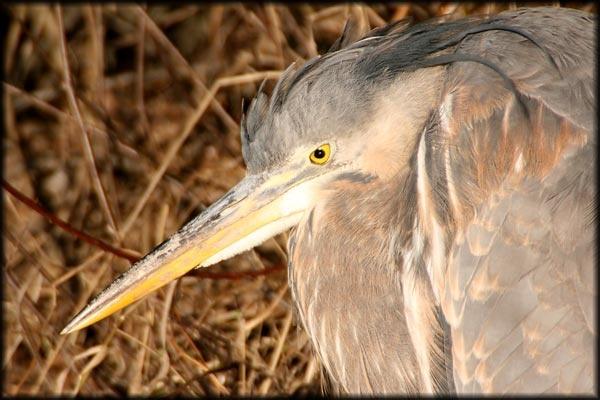 Heron eye by canadamon