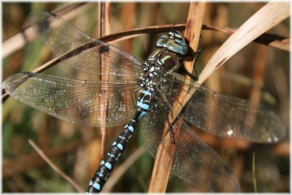 Still Dragonfly by canadamon