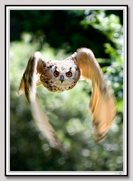 Owl in flight by garysphotos