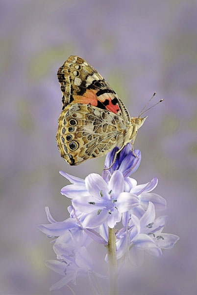 Painted Lady on Bluebell by fishing