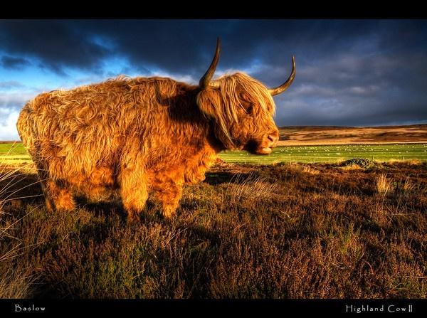 Highland Cow II by MarkT