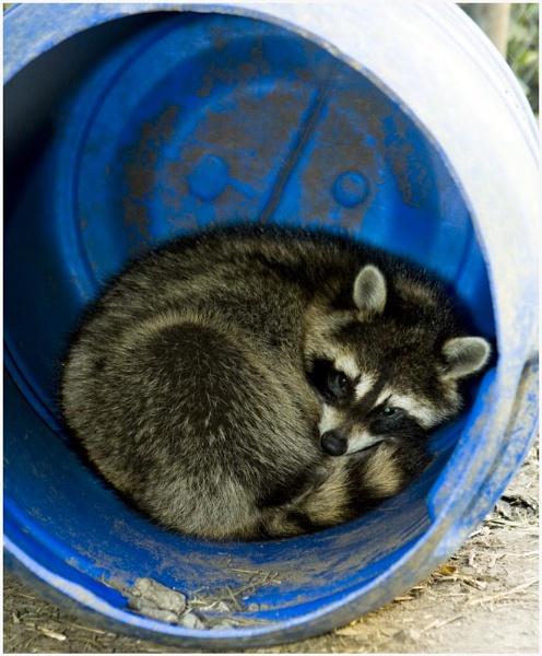 raccoon by steve_kershaw