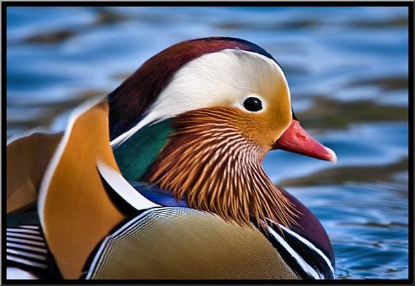 Manderin Duck by mjstead