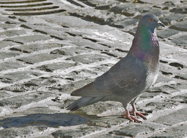 Pigeon by keith47