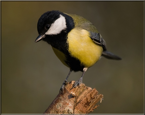 Great Tit by dickiedriver