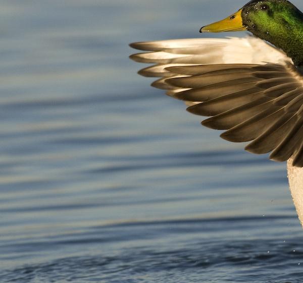 Ducktile II by SuffolkLozza