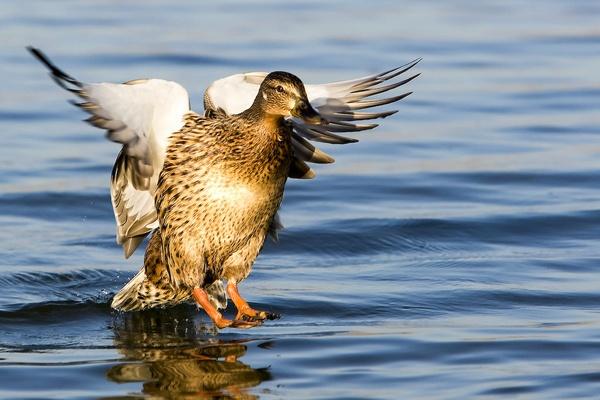 Duck\'s Landing by SuffolkLozza