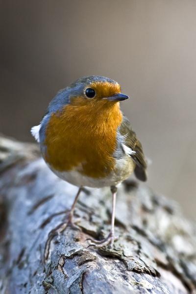 Friendly Robin by SuffolkLozza