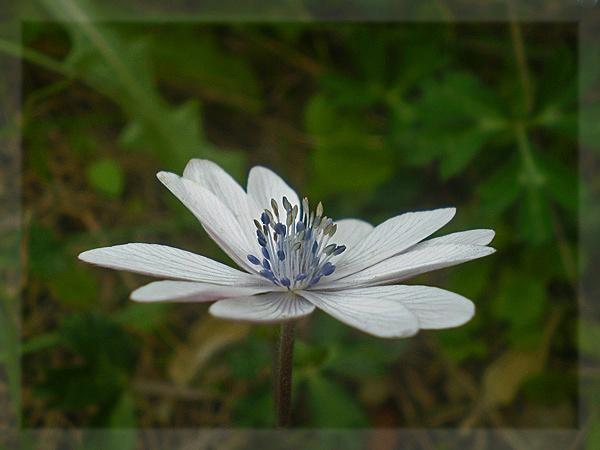 anemone hortensis by CarolG
