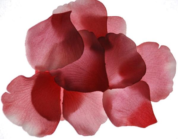 Valentines Petals by dubnut71