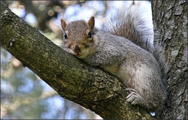 Grey Squirrel by whoami2b