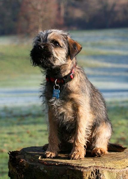 Border Terrier Puppy by KJackson