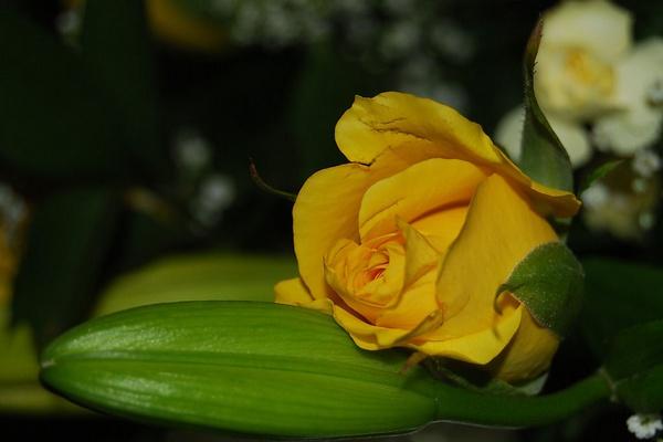 Yellow rose by Lindaephotozine