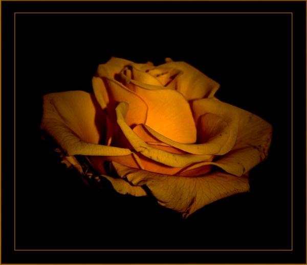 Yellow rose by olesyak