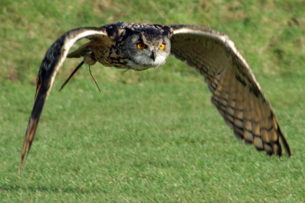 Eagle Owl by wheresjp