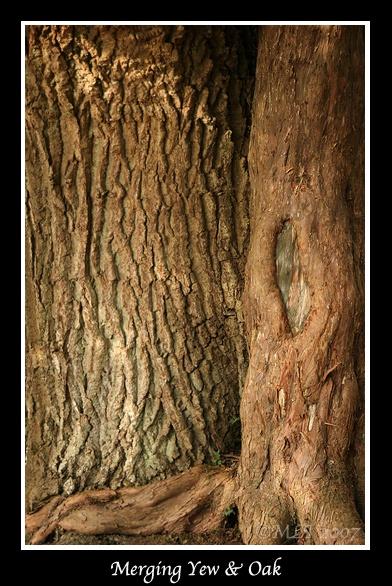 Merging Yew & Oak by mialewis