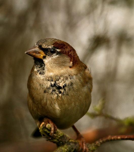 hedge sparrow by blacky