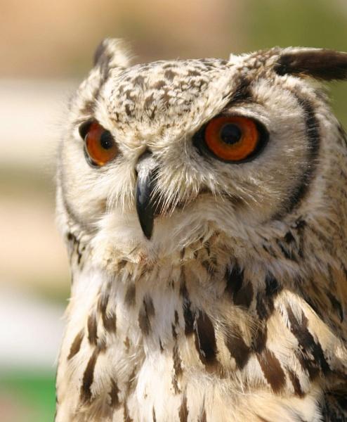owl by delboy1145