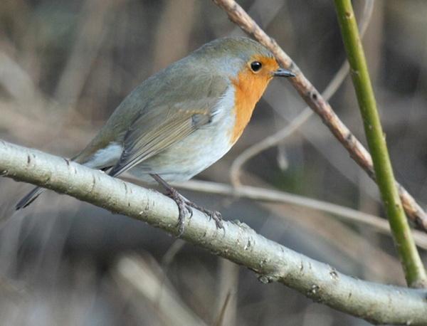 Friendly Robin by Misty56