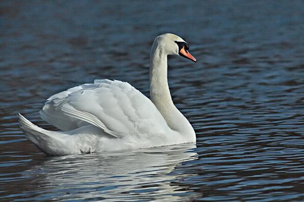 Swan gliding along by Misty56