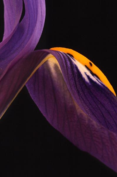 Iris Reticulata by seven21