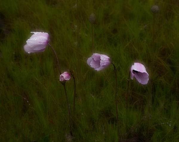 Anemones in the Rain