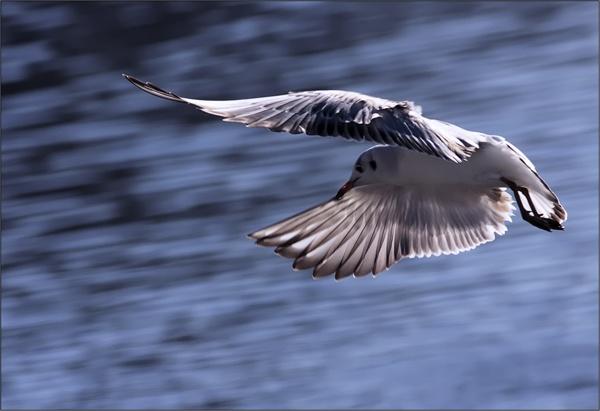 Bloo Bird by francisr