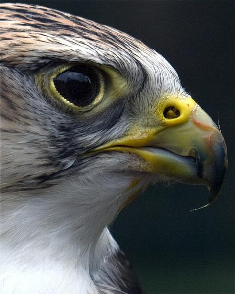 Saker Falcon by bppowell