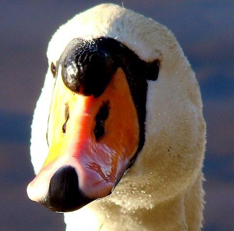"\""The Swan\"" by BigKiz"