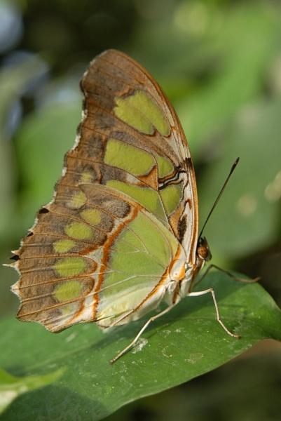 Green Butterfly by Just_Liz