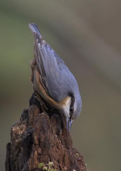 Nuthatch by barnowl