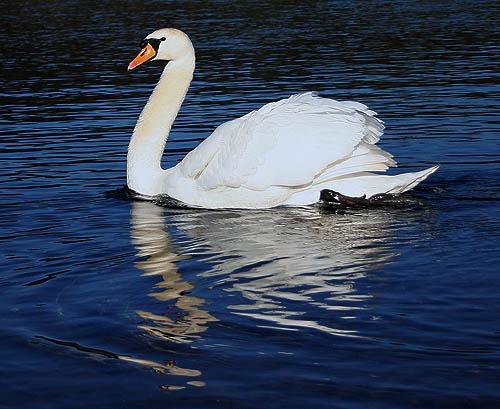 mute swan by Matthew_Leyshon