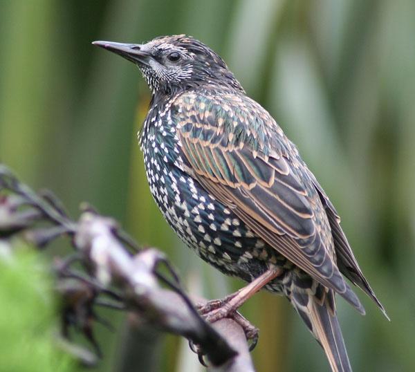 starling by Matthew_Leyshon